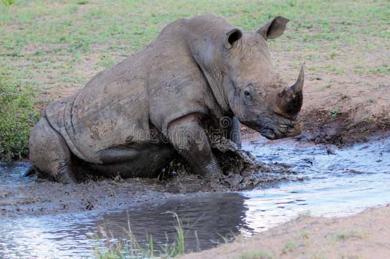 Rinoceronte branco que toma um banho fotos de stock