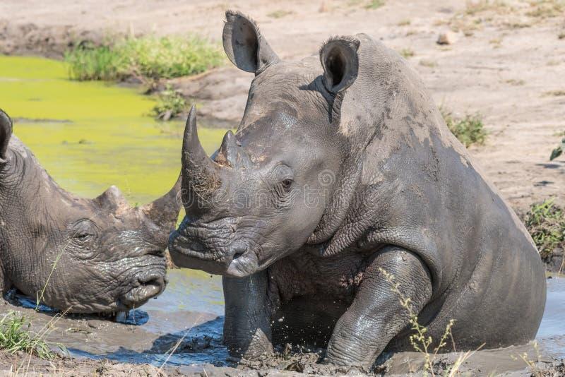 Rinoceronte branco que toma um mudbath fotos de stock royalty free