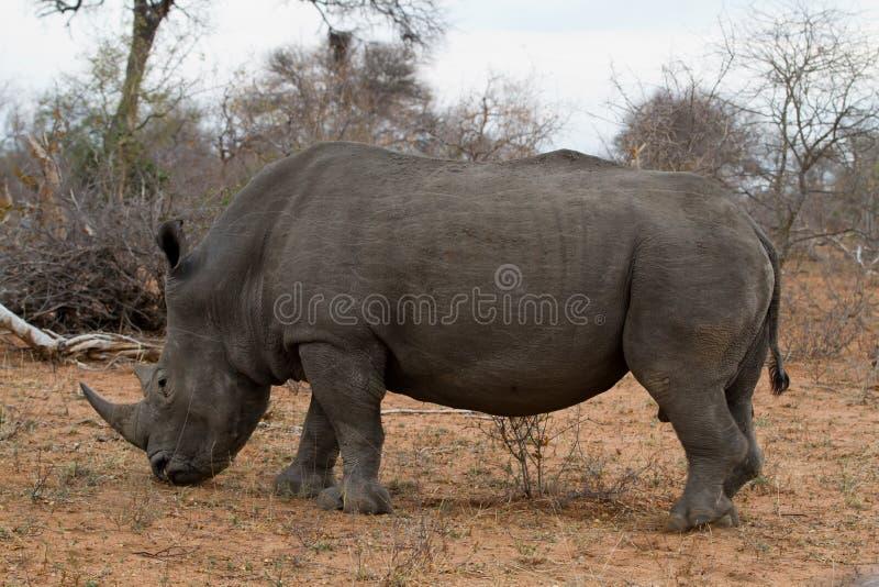 Rinoceronte branco raro imagem de stock royalty free