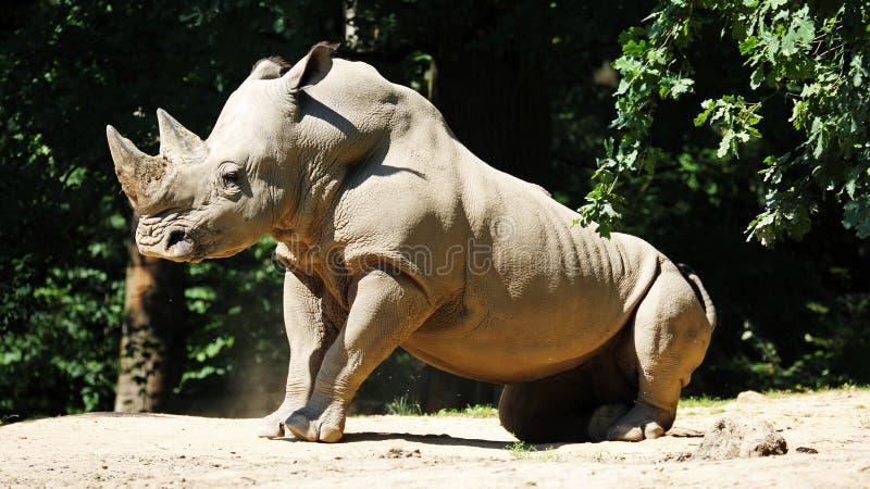 Rinoceronte branco & x28; Simum do simum do Ceratotherium & x29; no JARDIM ZOOLÓGICO Zlin, república checa imagens de stock royalty free