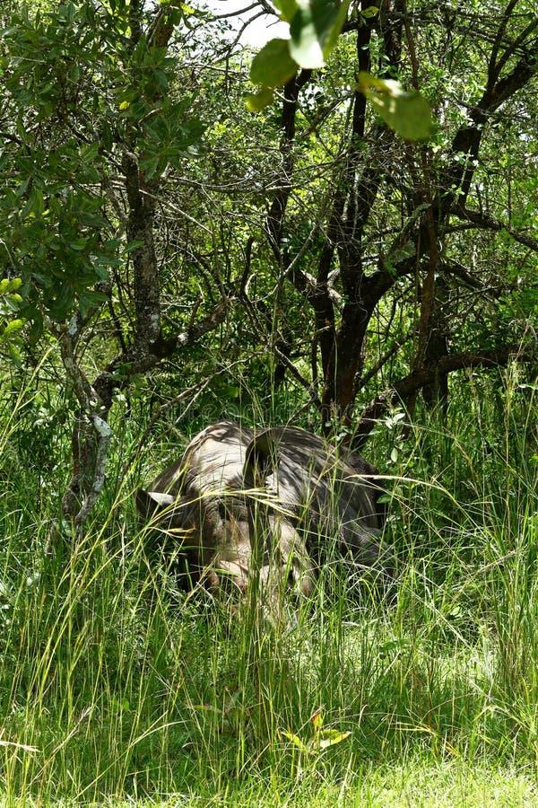 Rinoceronte camuflado que dorme no arbusto foto de stock