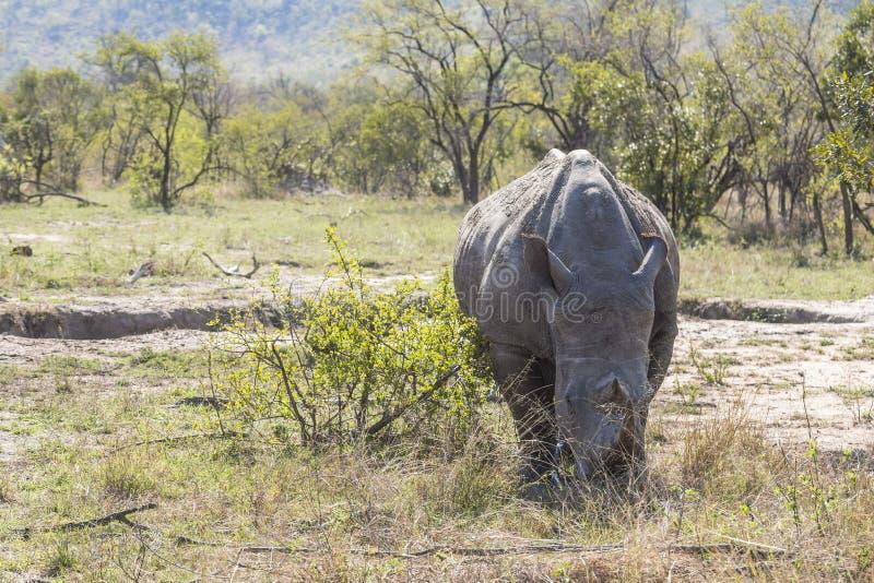Rinoceronte che mangia nell'erba del parco di Kruger immagini stock libere da diritti