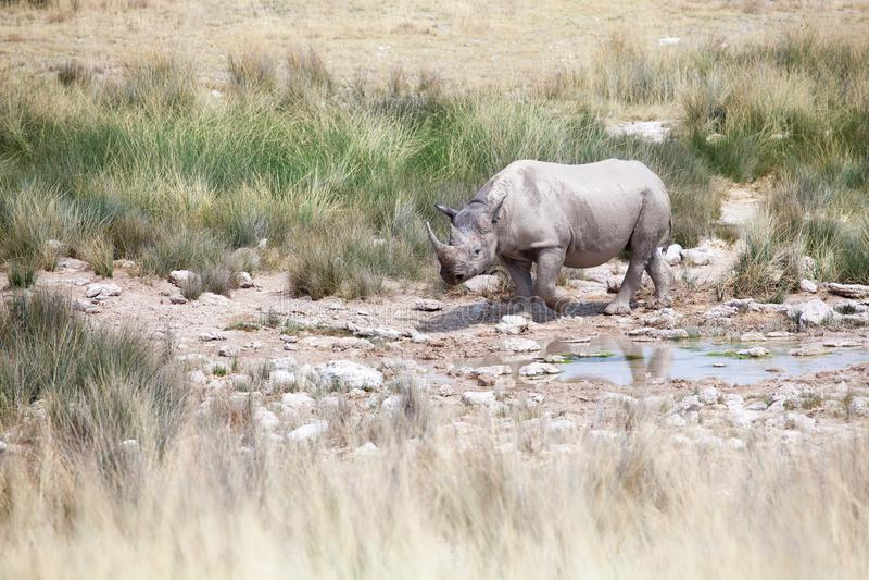 Rinoceronte com as duas presas no parque nacional de Etosha, fim de Namíbia acima, safari na África meridional na estação seca fotografia de stock