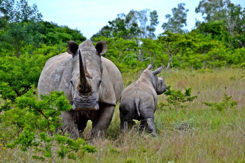 Rinoceronte com sua reserva do jogo da vitela em privado em África do Sul fotos de stock
