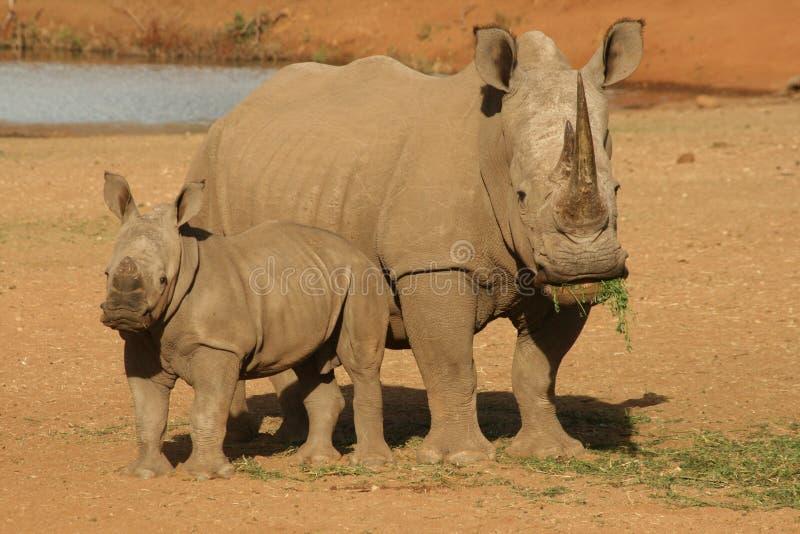 Rinoceronte com vitela imagens de stock