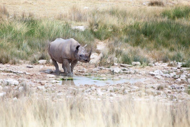 Rinoceronte con dos colmillos en el parque nacional de Etosha, cierre de Namibia para arriba, safari en África meridional en la e imagenes de archivo