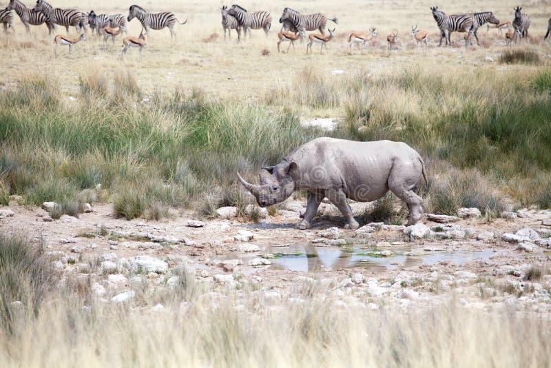 Rinoceronte con dos colmillos en el parque nacional de Etosha, cierre de Namibia para arriba, safari en África meridional en la e foto de archivo libre de regalías