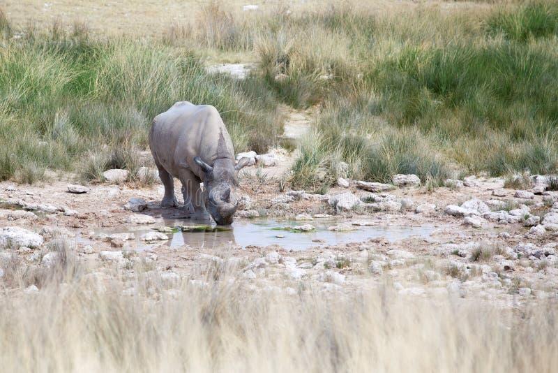 Rinoceronte con due zanne nel parco nazionale di Etosha, fine della Namibia su, safari nell'Africa meridionale nel periodo di sic fotografia stock