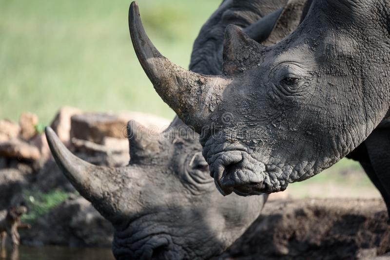 Rinoceronte de consumición fotografía de archivo libre de regalías