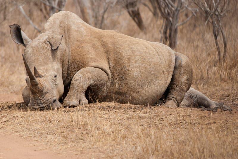 Rinoceronte de la madre imagenes de archivo