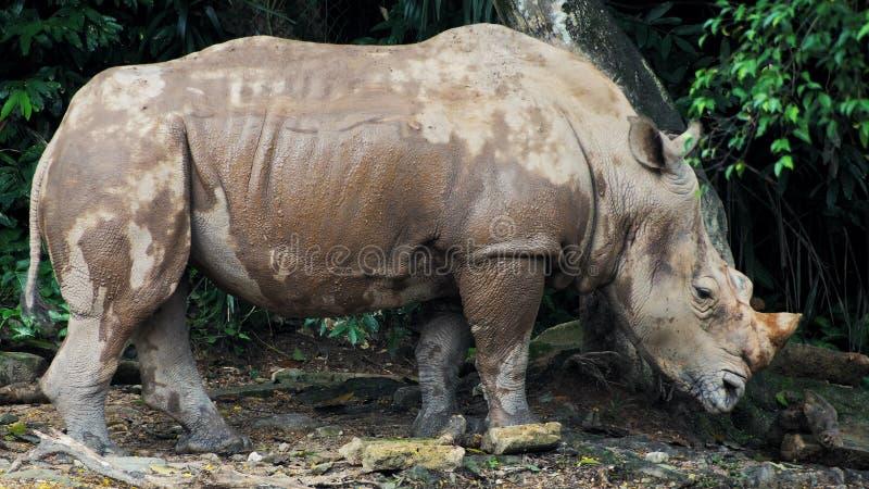 Rinoceronte de Sumatran um animal que seja extinto imagens de stock