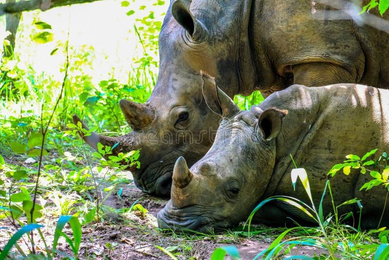 Rinoceronte del bambino che pone vicino a sua madre vicino alle piante un giorno soleggiato fotografie stock