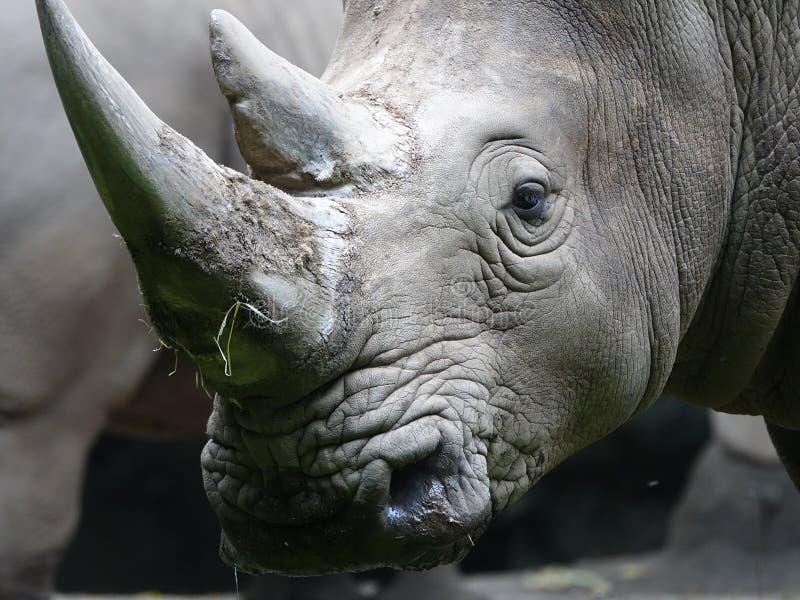 Rinoceronte 15 del parque zoológico de Bronx imagenes de archivo