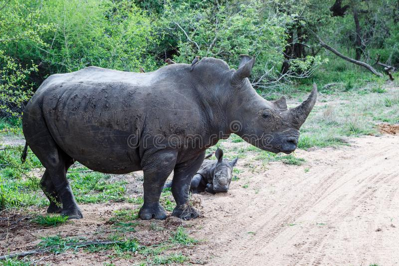 Rinoceronte della madre e del bambino con oxpecker immagine stock