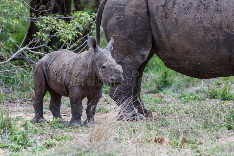 Rinoceronte della madre e del bambino con oxpecker fotografia stock libera da diritti