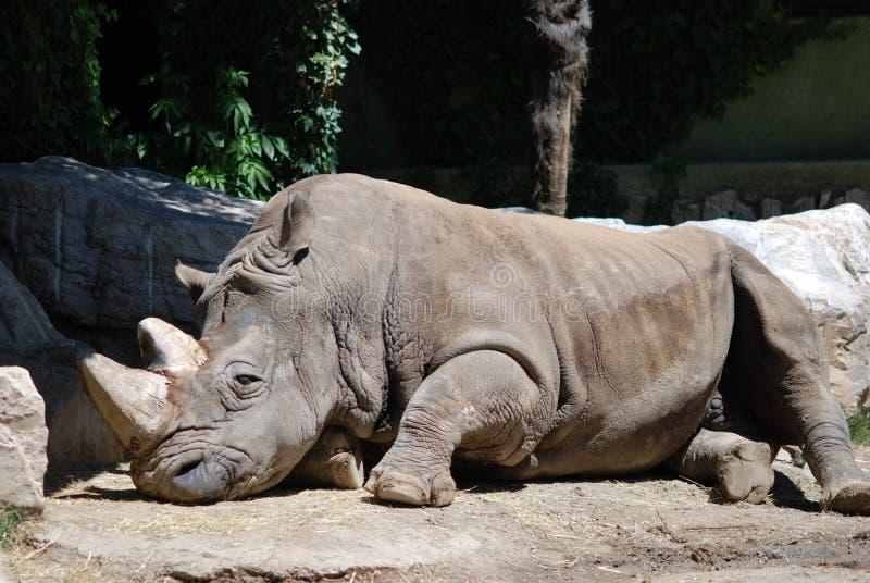 Rinoceronte di sonno fotografia stock