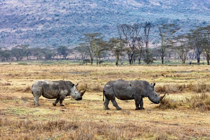 Rinoceronte e vitello che camminano nel lago Nakuru Kenya fotografia stock libera da diritti