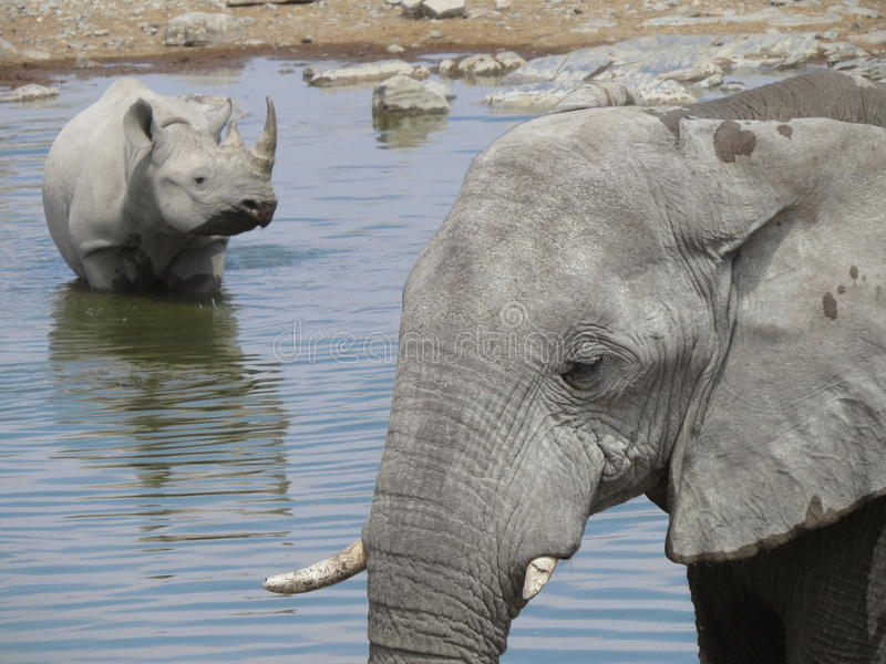 Rinoceronte & elefante pretos fotografia de stock