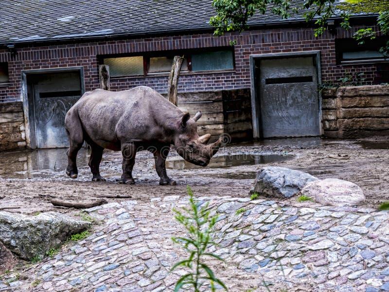 Rinoceronte em Berlin Germany fotografia de stock