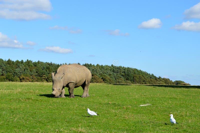 Rinoceronte em um campo imagem de stock royalty free