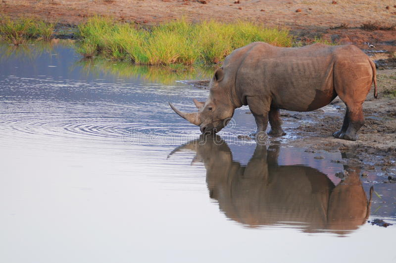 Rinoceronte em Waterhole foto de stock