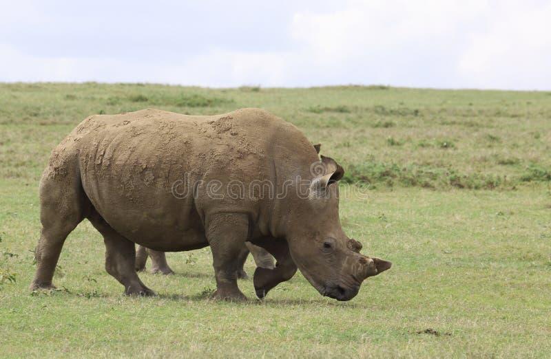 Rinoceronte en África imagenes de archivo