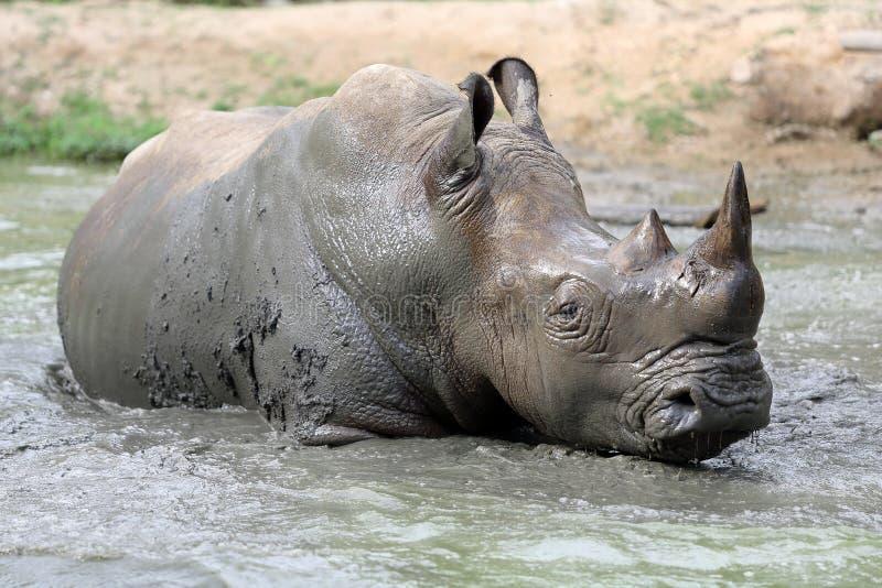 Rinoceronte en el agua fangosa imagen de archivo