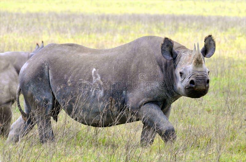 Rinoceronte en el parque nacional de Tanzania imágenes de archivo libres de regalías