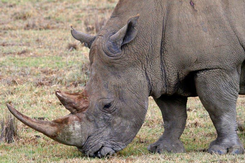 Rinoceronte en el parque nacional de Tanzania fotografía de archivo