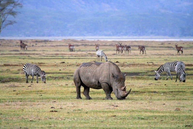 Rinoceronte en el parque nacional de Tanzania fotos de archivo