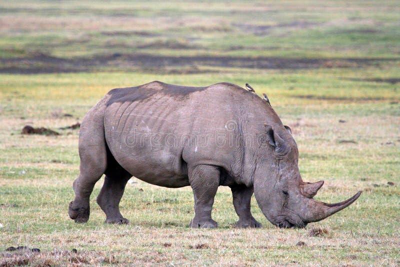 Rinoceronte en el parque nacional de Tanzania fotografía de archivo libre de regalías