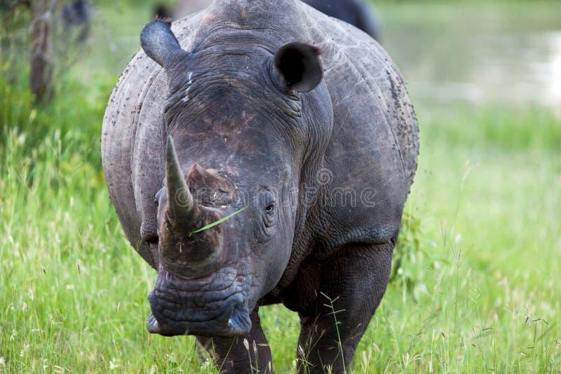 Rinoceronte en el parque nacional de Tanzania foto de archivo libre de regalías