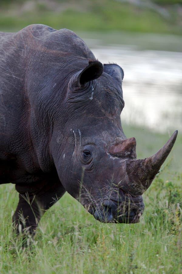 Rinoceronte en el parque nacional de Tanzania imagenes de archivo