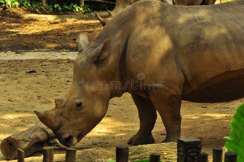 Rinoceronte en el parque zoológico de Singapur fotografía de archivo libre de regalías