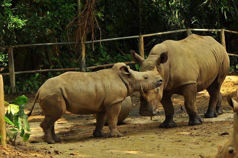 Rinoceronte en el parque zoológico de Singapur fotografía de archivo