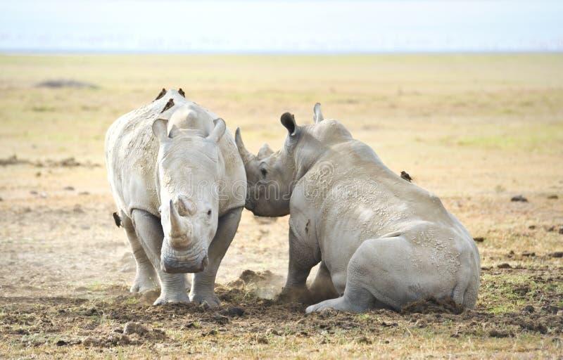Rinoceronte en el salvaje foto de archivo