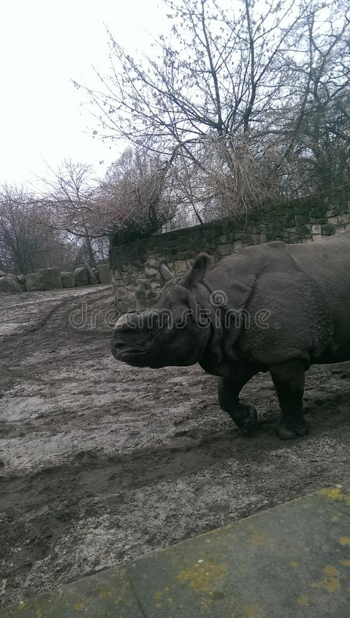 Rinoceronte en fango imágenes de archivo libres de regalías