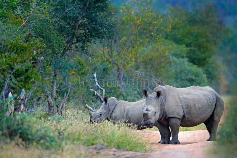 Rinoceronte en hábitat del bosque Dos rinoceronte blanco, simum del Ceratotherium, con los cuernos cortados, en el hábitat de la  fotos de archivo libres de regalías