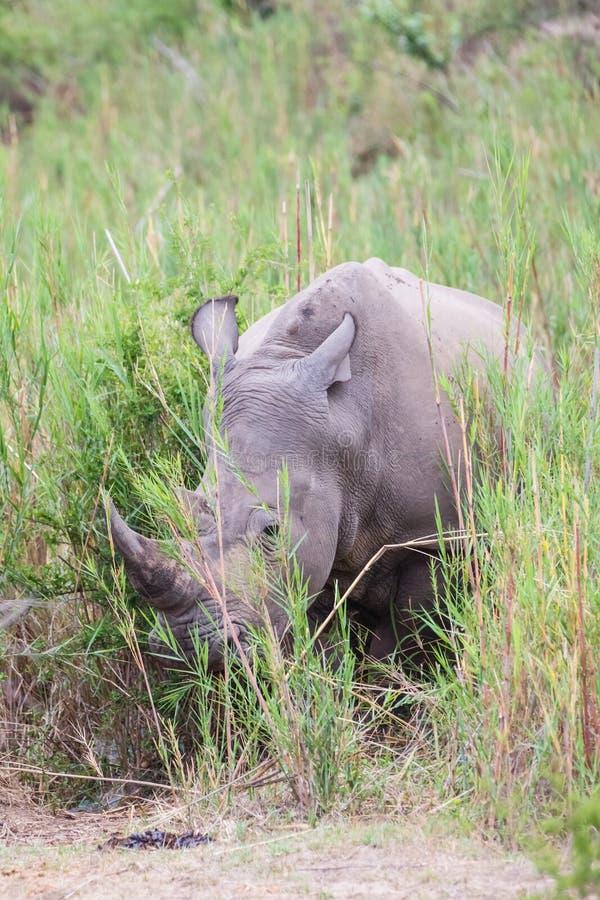Rinoceronte en la hierba imagenes de archivo