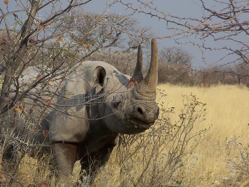 Rinoceronte en Namibia fotos de archivo libres de regalías