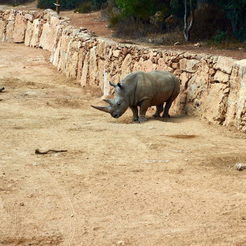 Rinoceronte en parque zoológico imágenes de archivo libres de regalías