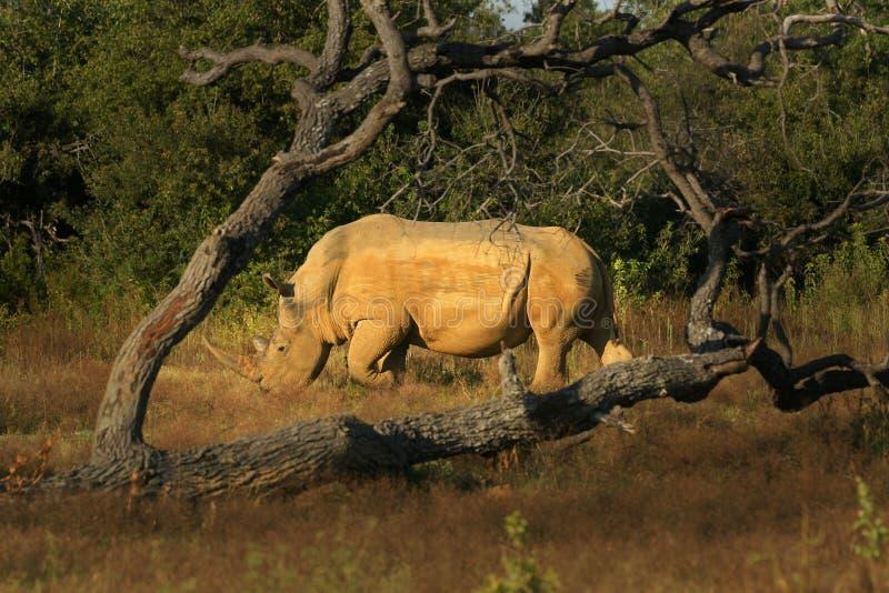 Rinoceronte enmarcado árbol Bull imagen de archivo