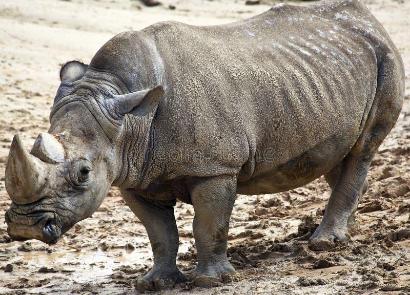 Rinoceronte grande fotos de archivo