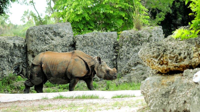 Download Rinoceronte indiano immagine stock. Immagine di nave - 56892951