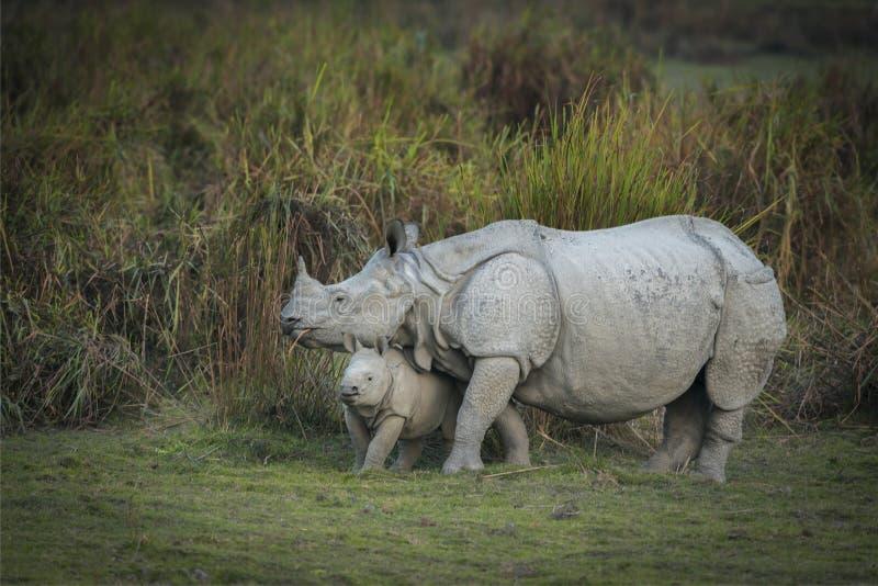 Rinoceronte indiano del bambino e della madre al parco nazionale di kazhiranga, l'Assam fotografia stock