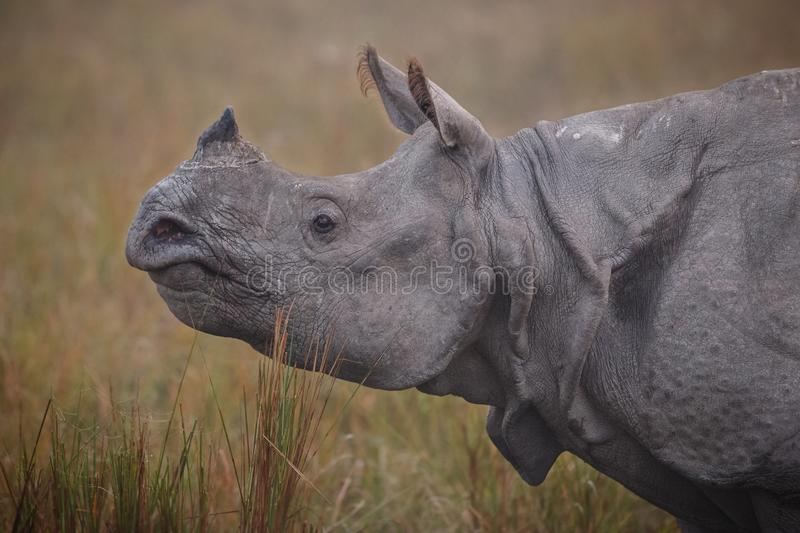 Rinoceronte indiano posto em perigo no habitat da natureza imagens de stock royalty free