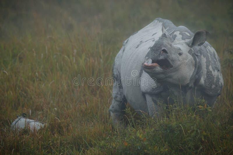 Rinoceronte indiano posto em perigo no habitat da natureza fotos de stock royalty free