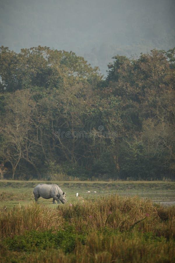 Rinoceronte indiano posto em perigo no habitat da natureza imagem de stock