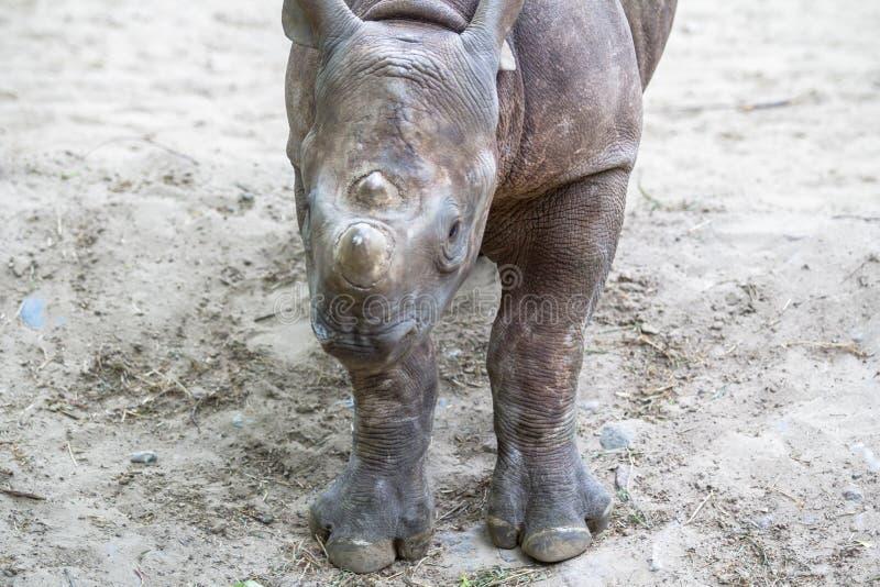 Rinoceronte indiano in uno zoo, Berlino del bambino immagini stock libere da diritti