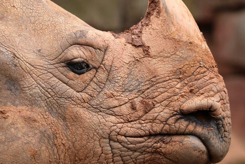 Rinoceronte indio foto de archivo libre de regalías